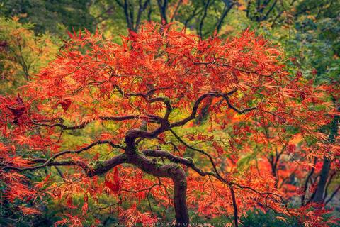 Portland, Japanese, Garden, Fall, autumn, Tree, Maple, Laceleaf, famous, world, Oregon