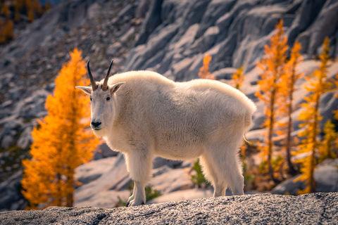Enchantments, Washington, Cascades, sunrise, Western Larch, trees, Alpine, Lakes, Wilderness, Area, Larix occidentalis, fall, color, clouds, sun, goat, mountain