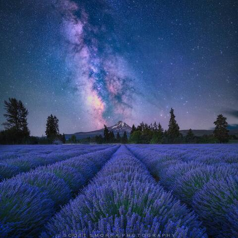 The Milky Way and billions of stars rise above Mt Hood and a beautiful lavender field at Lavender Valley Farms in Hood River, Oregon.