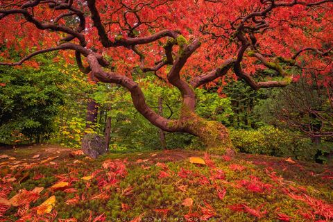 Portland, Japanese, Garden, Fall, Tree, Maple