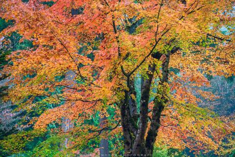 Peak fall colors adorn a stand of beautiful Japanese Maple trees at the Portland Japanese Garden, Portland, Oregon.