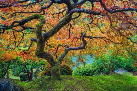 Peak fall colors at the world famous Laceleaf Japanese Maple Tree at the Portland Japanese Garden, Portland, Oregon.