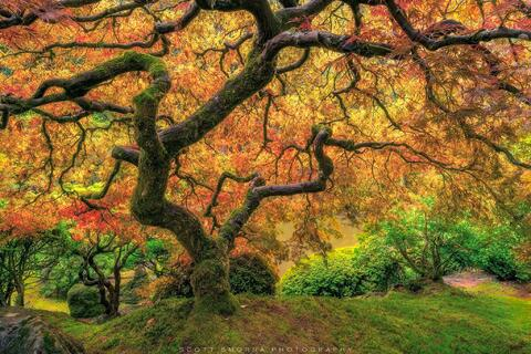 Portland, Japanese, Garden, Fall, Tree, Maple, Famous, Leaves