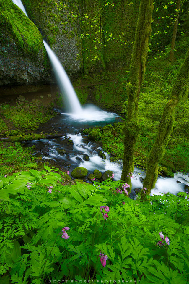 Oregon, Columbia River, Gorge, Ponytail Falls, wildflowers, bleeding hearts, waterfall, green, spring