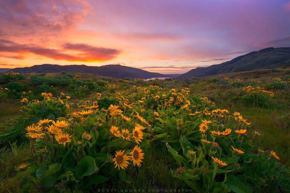 Oregon, Columbia River Gorge, Rowena Crest, spring, sunrise, Arrowleaf, balsamroot, wildflowers