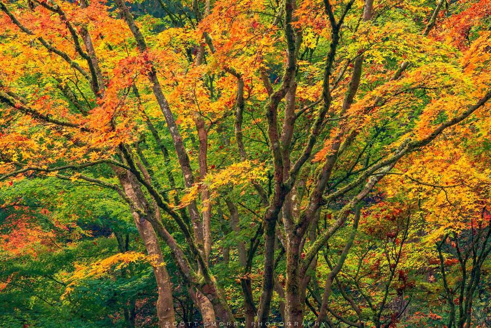 Portland, Japanese, Garden, Fall, Autumn, Tree, Maple, Oregon, Famous, World