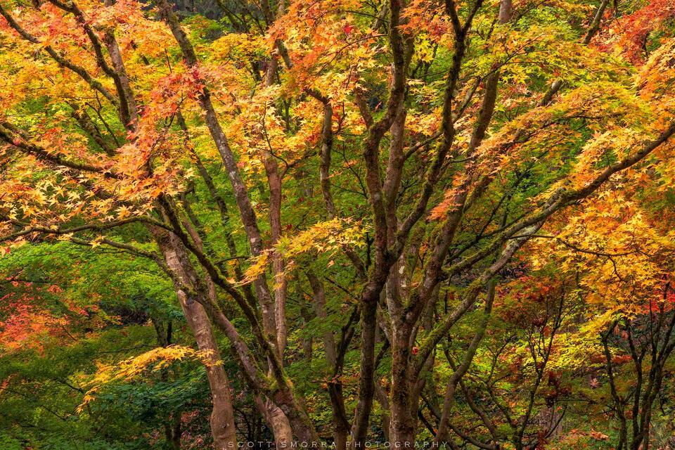 Portland, Japanese, Garden, Fall, Autumn, Tree, Maple