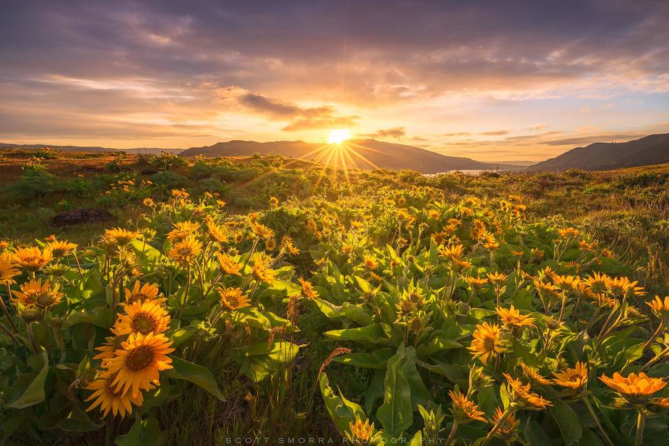 Oregon, Rowena Crest, Eastern, Columbia River Gorge, Spring, Arrowleaf, Balsamroot, sunrise, Pacific Northwest, wildflowers