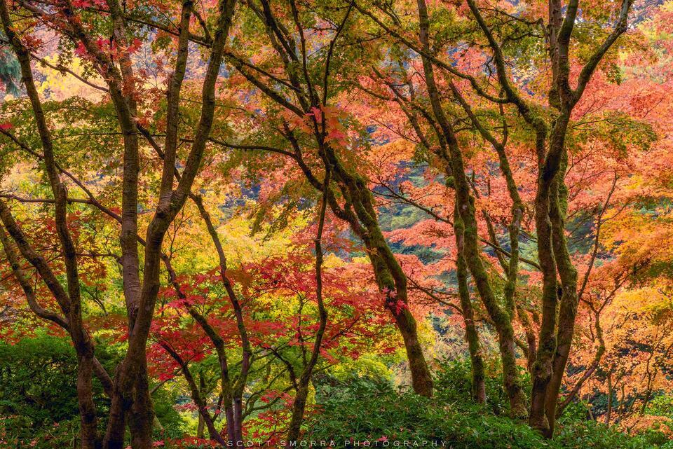 Portland, Japanese, Garden, Fall,, Tree, Maple