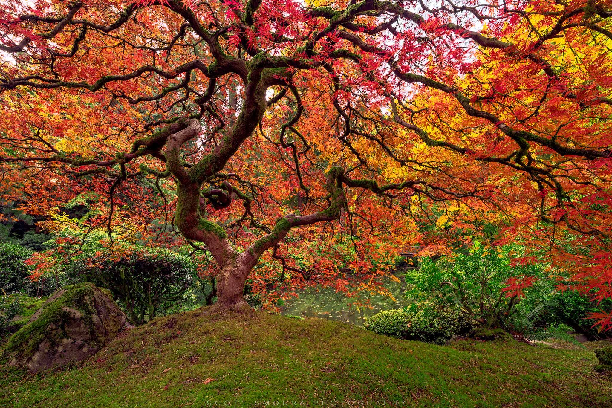 Portland, Japanese, Garden, Fall, Tree, Maple, Famous, Leaves, Autumn, photo