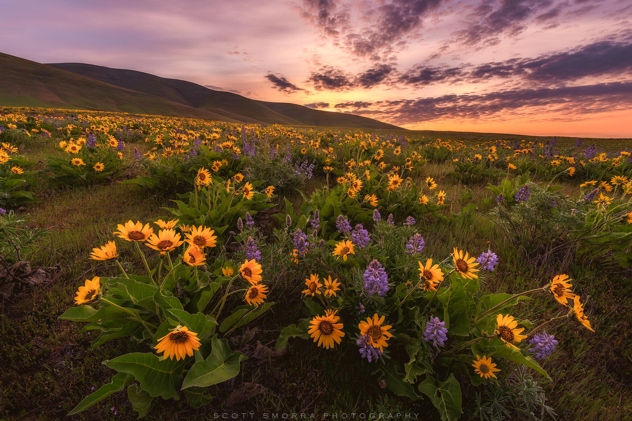 Fine Art Limited Edition of 100 - Sunrise light and spring wildflowers (Arrowleaf balsamroot and Columbia Gorge Broad Leaf Lupine...