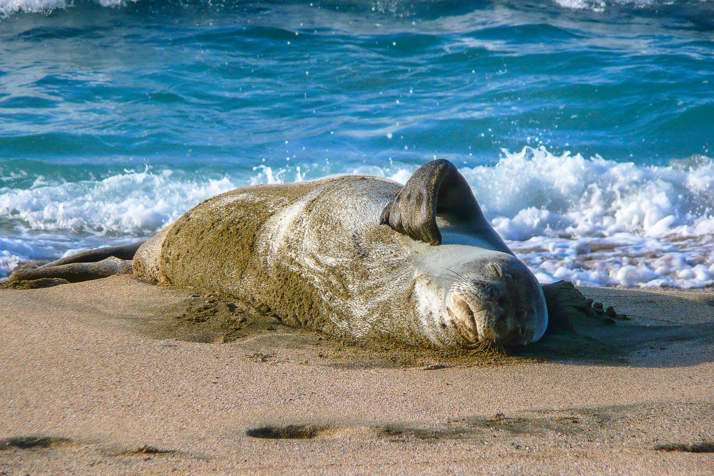 Endangered Monk Seal on Kalalau Beach on the Napali Coast of Kaua'i Hawaii