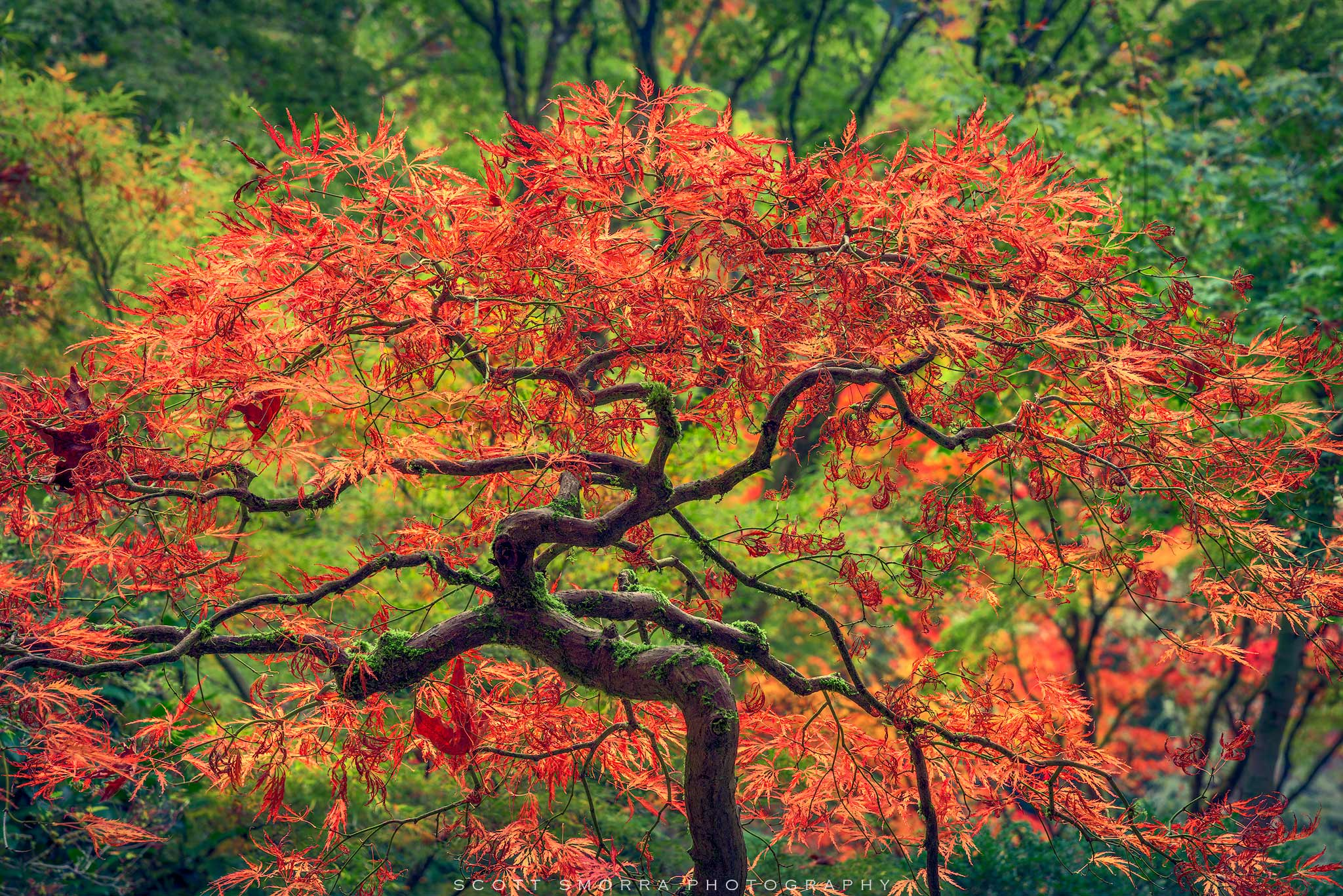 Fine Art Limited Edition of 100 - Beautiful fall colors adorn a perfectly shaped Japanese Maple Tree at the world famous Portland...