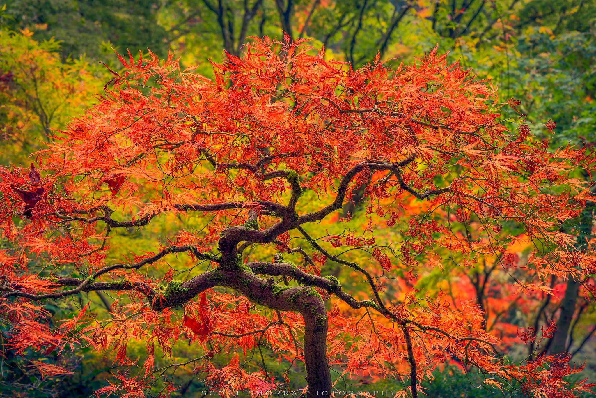 Portland, Japanese, Garden, Fall, autumn, Tree, Maple, photo