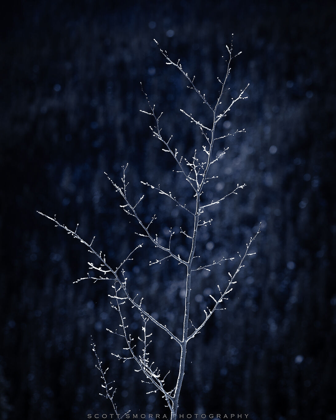 Jasper National Park, Canada, winter, tree, frost, Alberta , photo