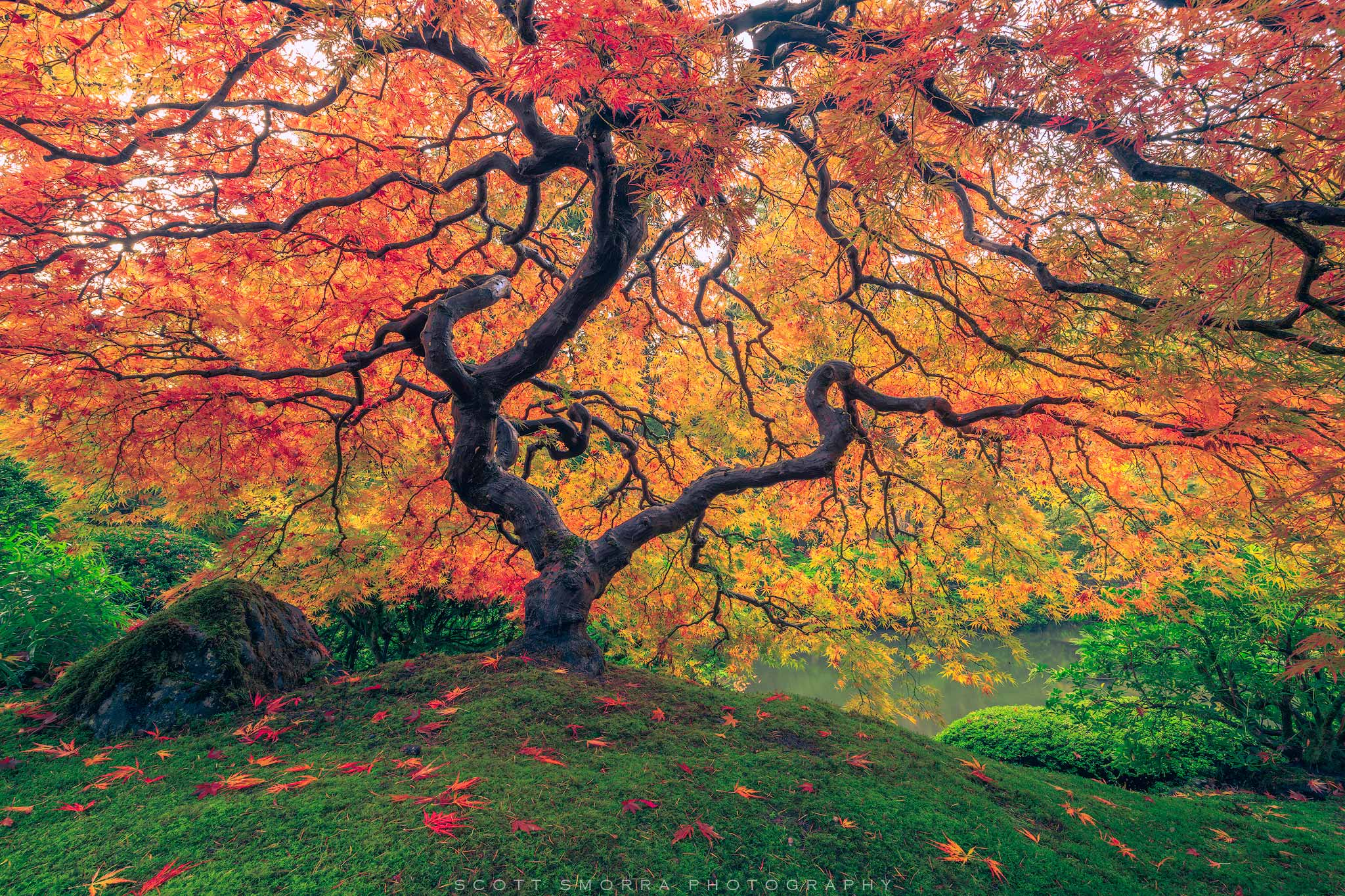 Fine Art Limited Edition of 100 - Amazing fall colors at the world famous Japanese Maple at the Portland Japanese Garden, Portland...