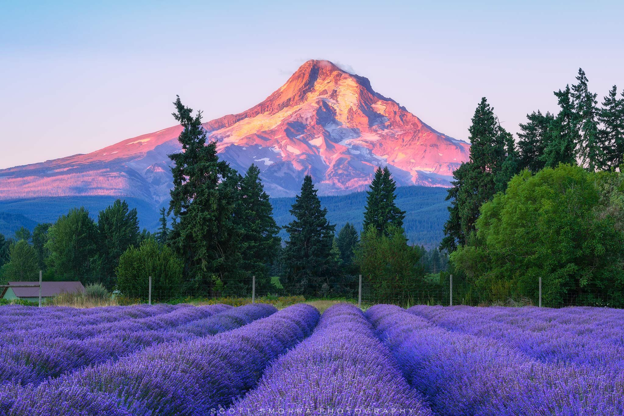 Mt Hood rises above a beautiful field of lavender just after sunrise at Lavender Valley Farms near Hood River, Oregon.