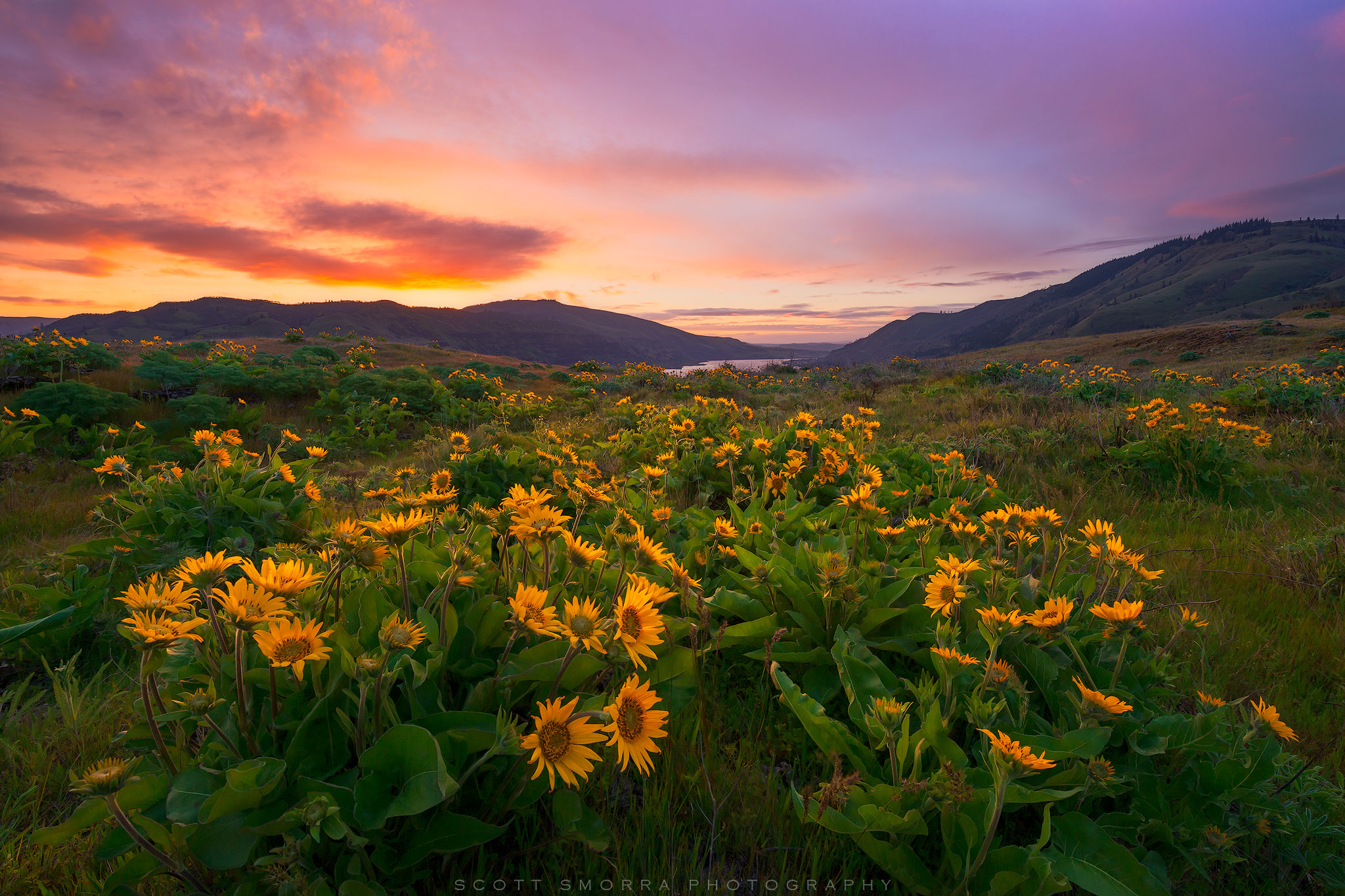 Fine Art Limited Edition of 100 - Sunrise light over a field of Arrowleaf Balsamroot at Rowena Crest in the Eastern Columbia...