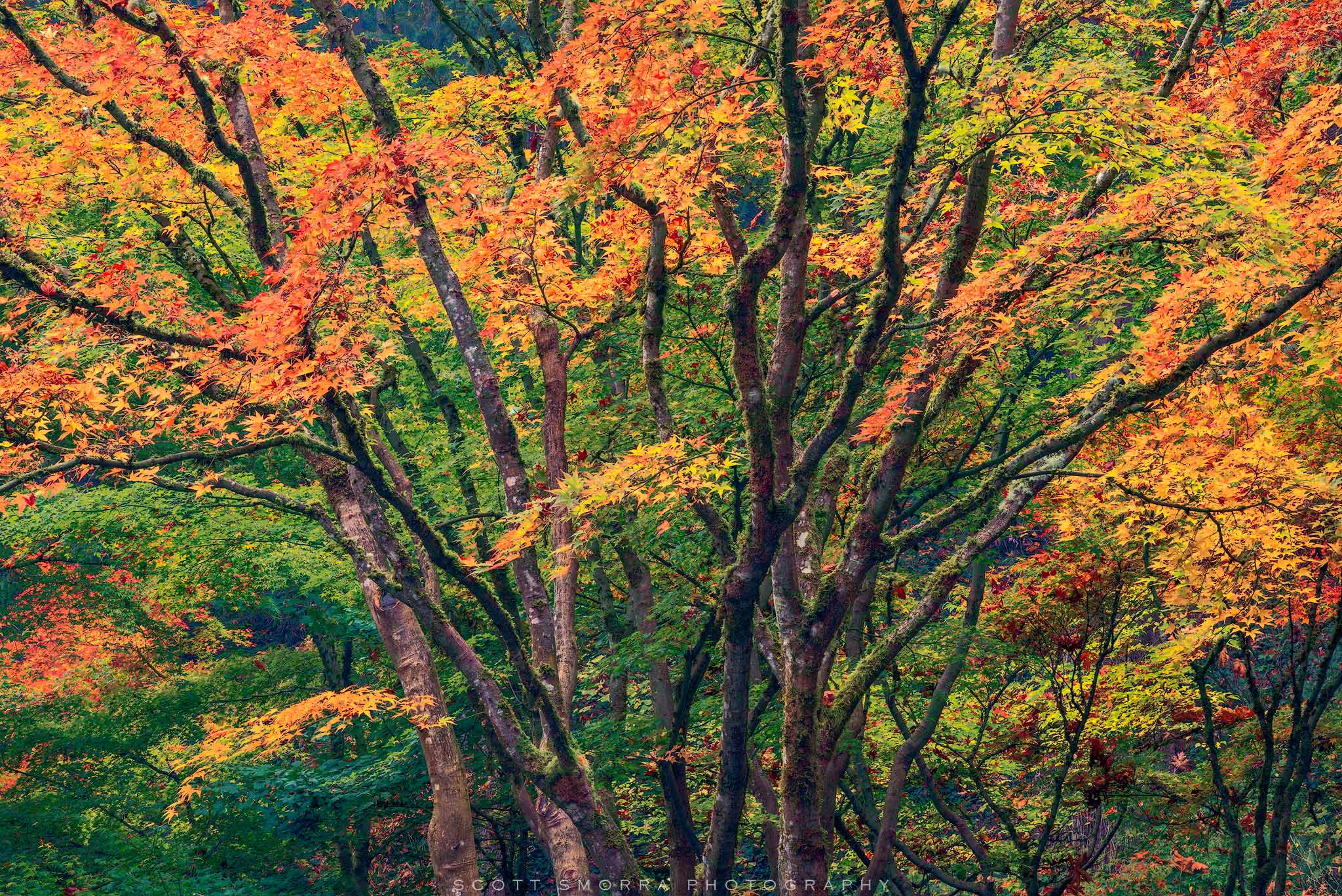 Fine Art Limited Edition of 100 - Japanese Maples during the peak of fall color at the world famous Portland Japanese Garden...