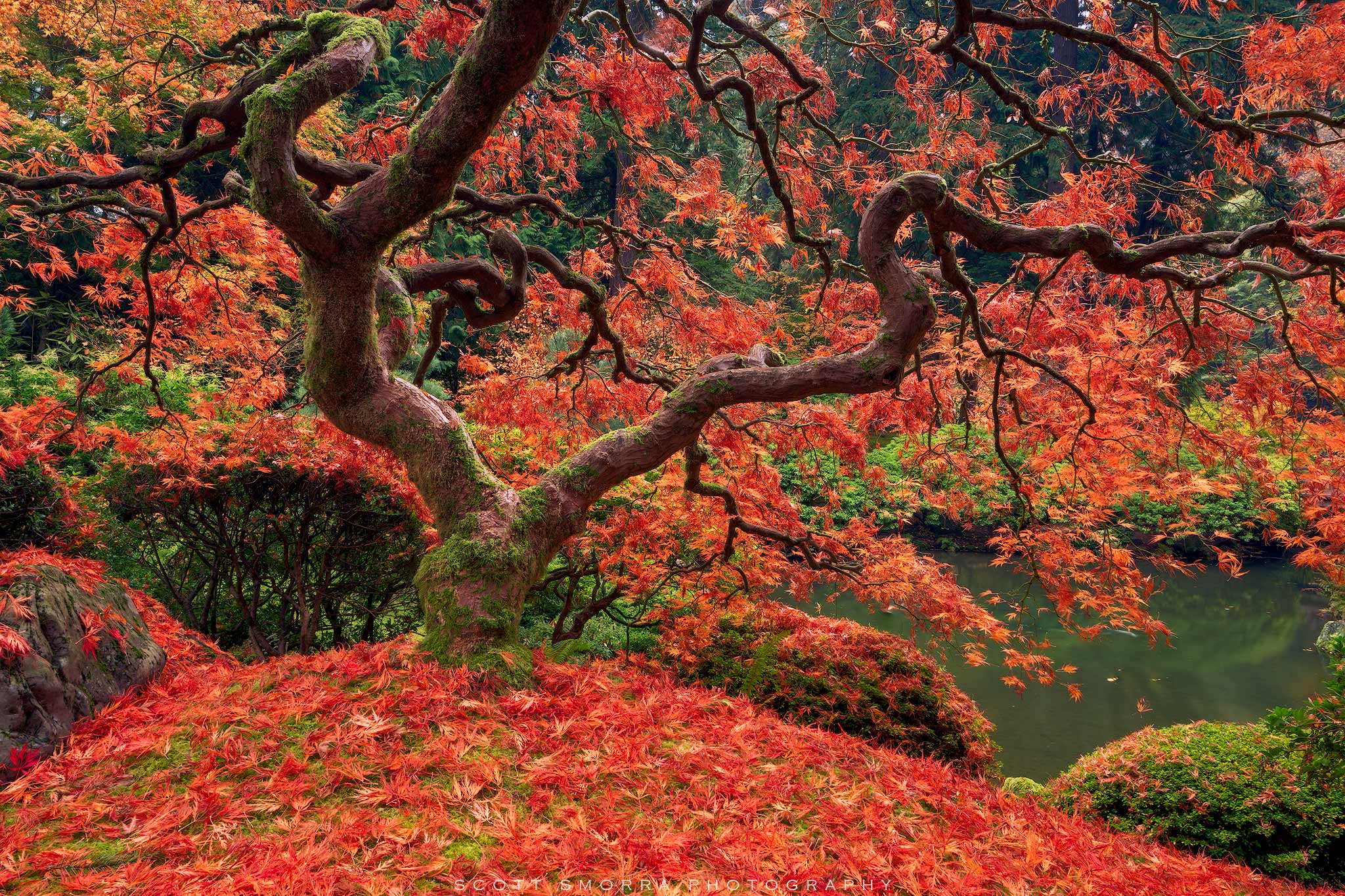 Fine Art Limited Edition of 100 - Fall colors at the famous Japanese Maple in the Portland Japanese Garden, Portland, OR. On...