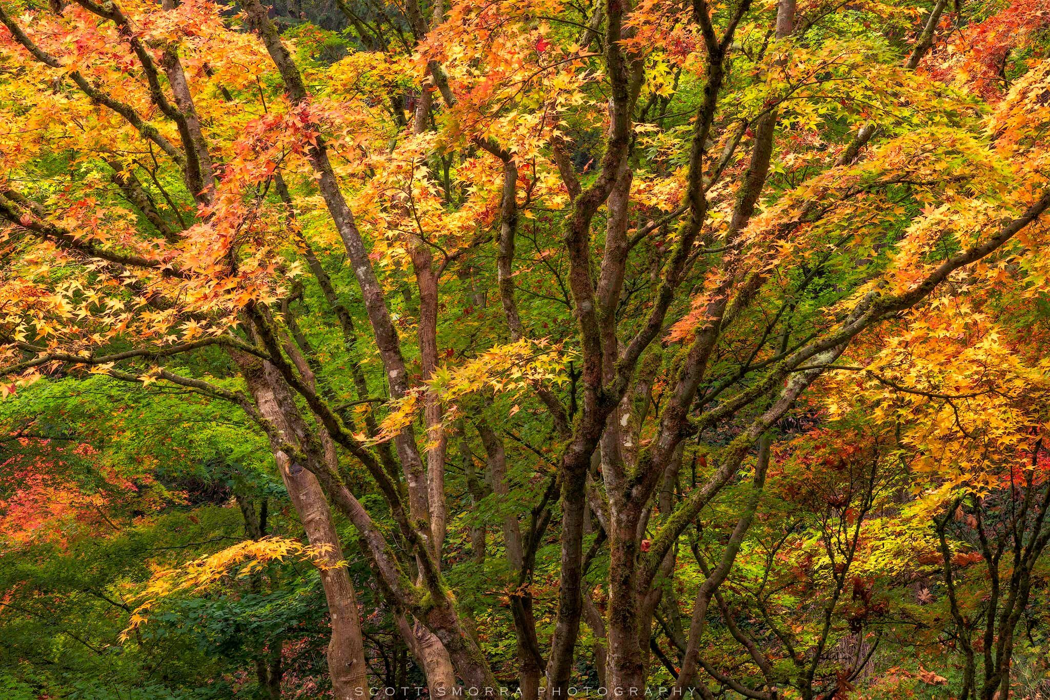 Portland, Japanese, Garden, Fall, Autumn, Tree, Maple, photo