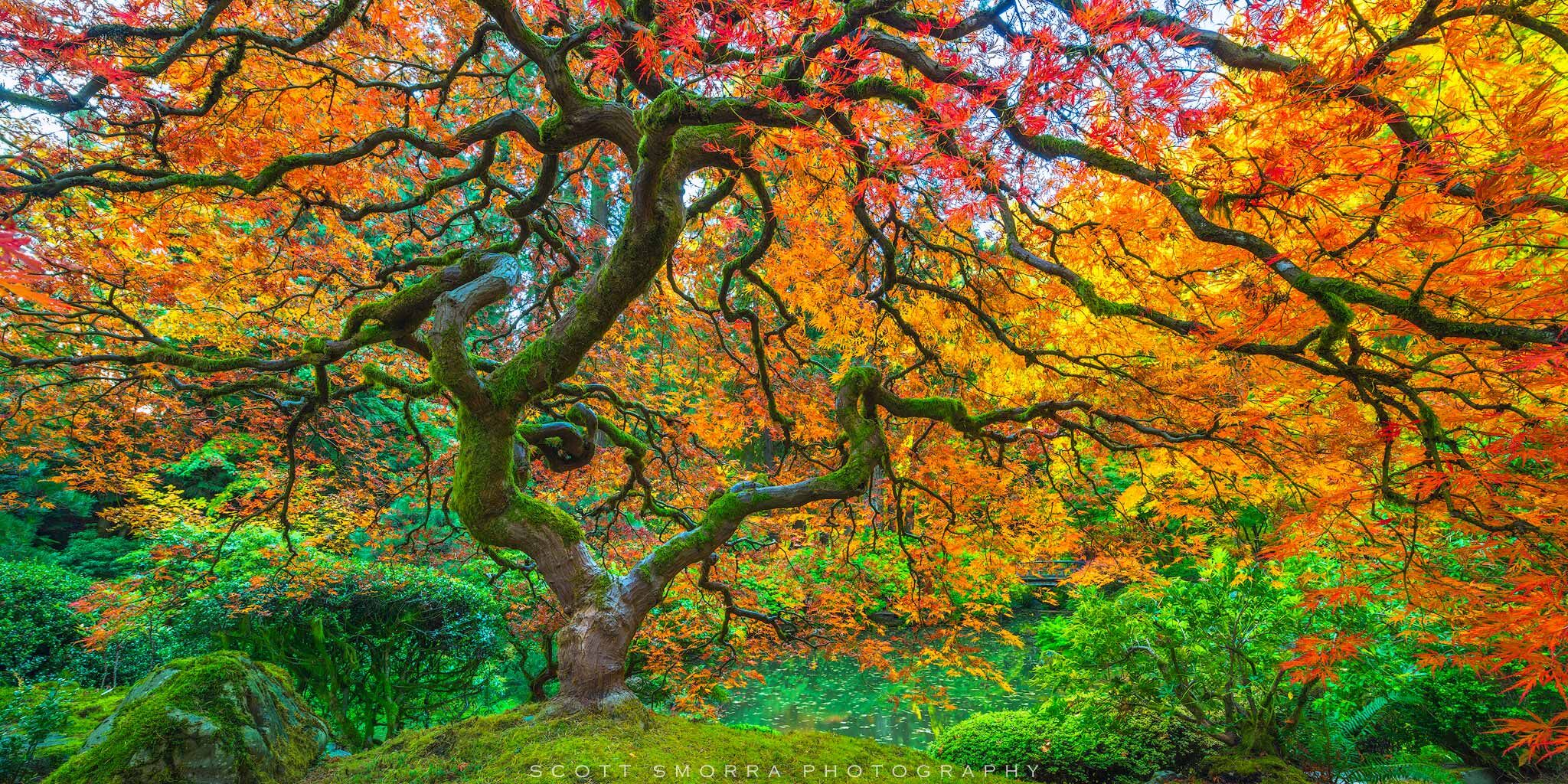 Order your print online today! A perfect mixture of autumn colors at the famous Laceleaf Japanese Maple Tree at the Portland Japanese Garden, Portland, Oregon.