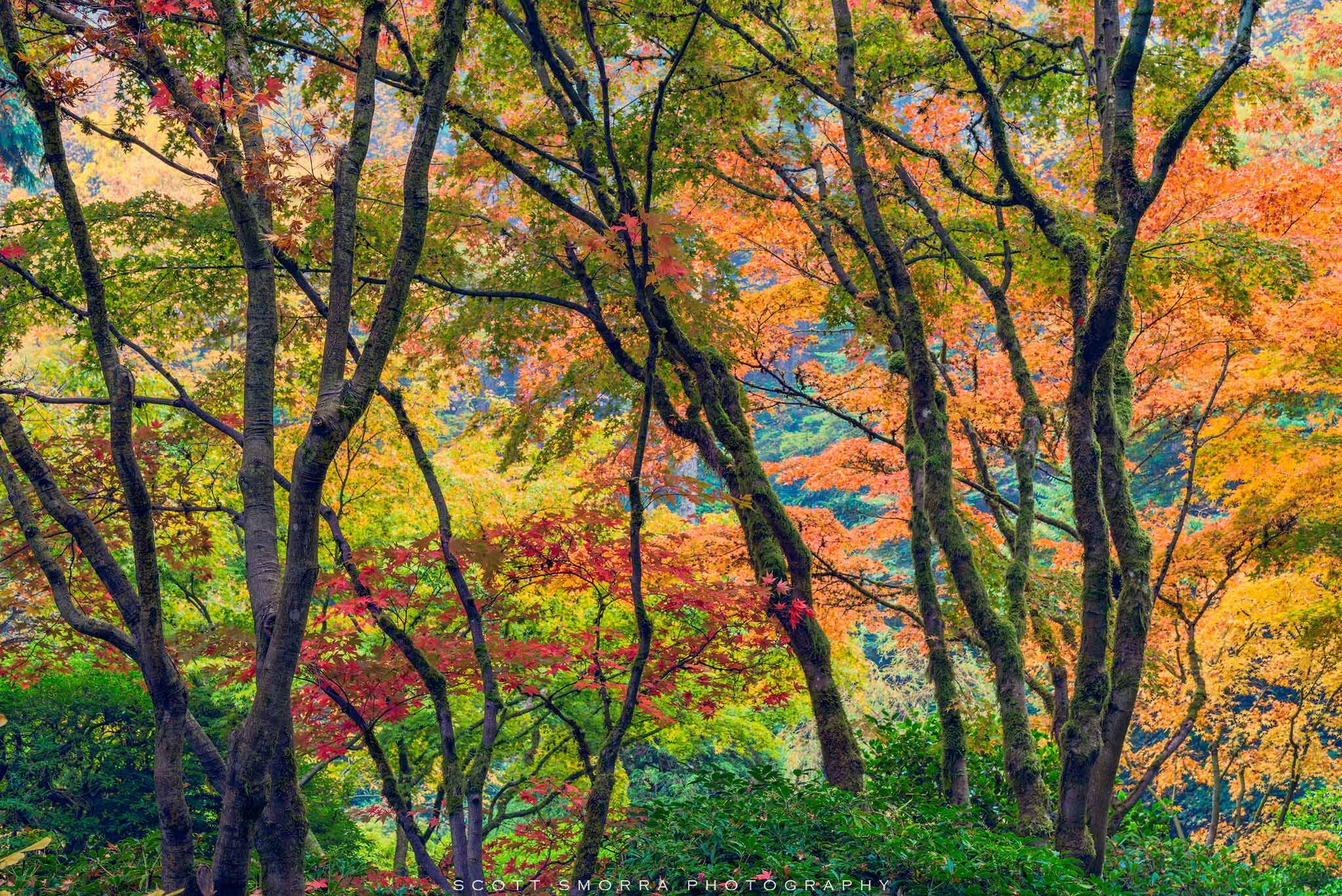 Peak fall colors glow in a stand of beautiful Japanese Maple trees at the Portland Japanese Garden, Portland, Oregon.