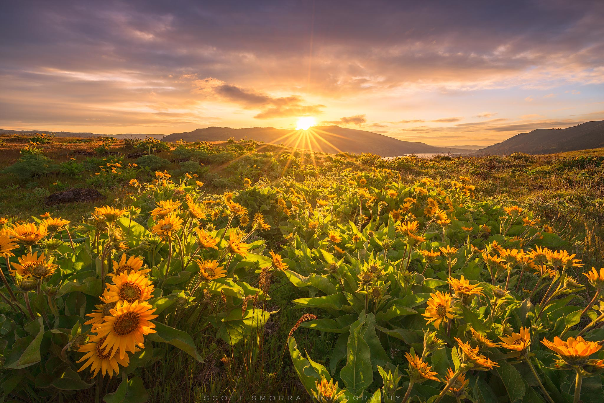 Fine Art Limited Edition of 100 - The first rays of sunlight shining down over a field of Arrowleaf Balsamroot at Rowena Crest...