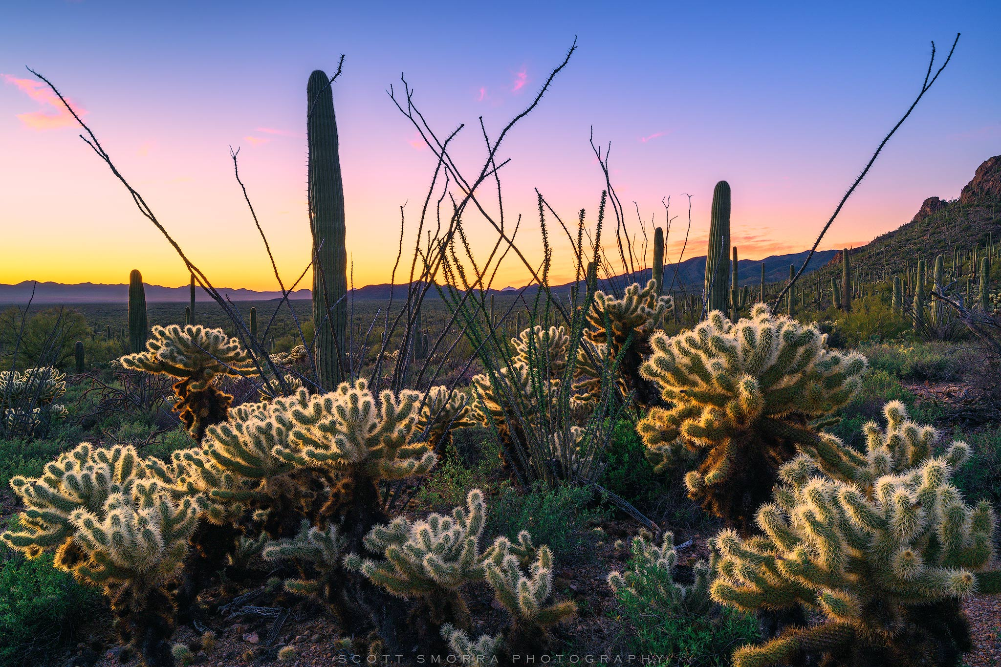 Fine Art Limited Edition of 25 - Sunset light above a cluster of cholla, saguaros and ocotillo in Saguaro National Park near...