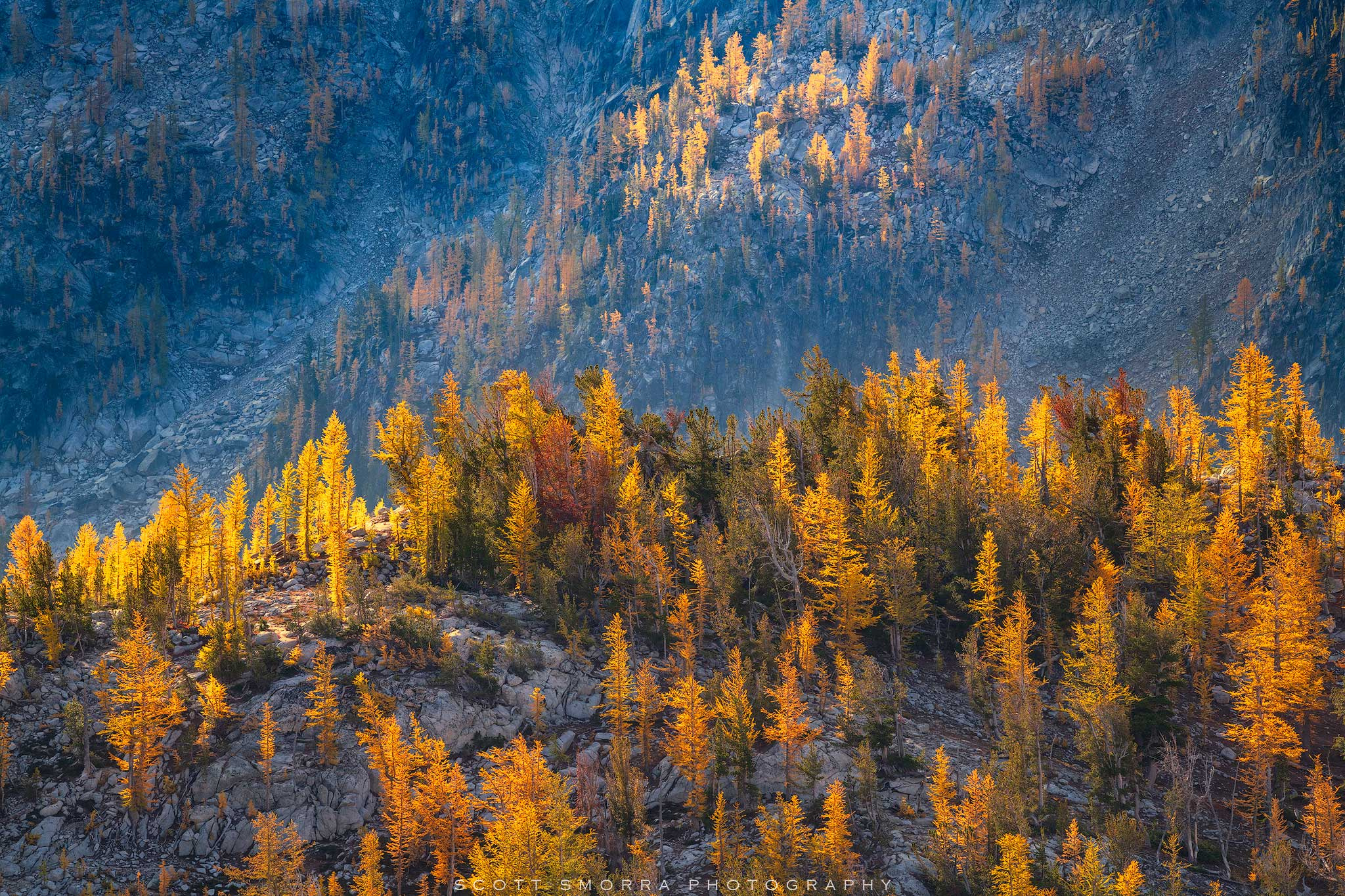 Fine Art Limited Edition of 25 - Early morning sunlight illuminates a forest of Western Larch (Larix occidentalis) trees in the...