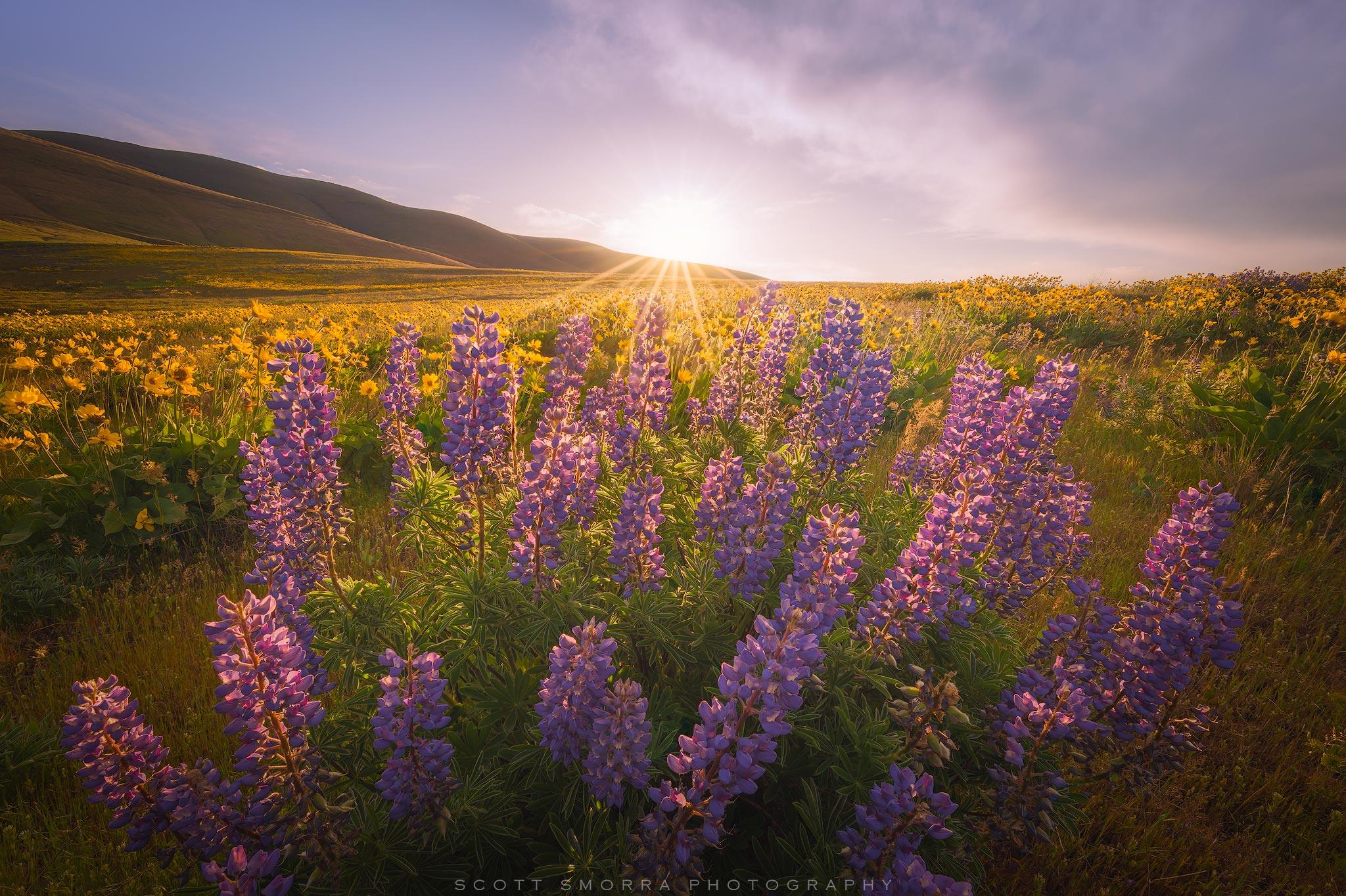 Washington, Columbia Hills State Park, Sunrise, Wildflowers, Columbia Gorge Broad Leaf Lupine, Arrowleaf Balsamroot, bloom, photo