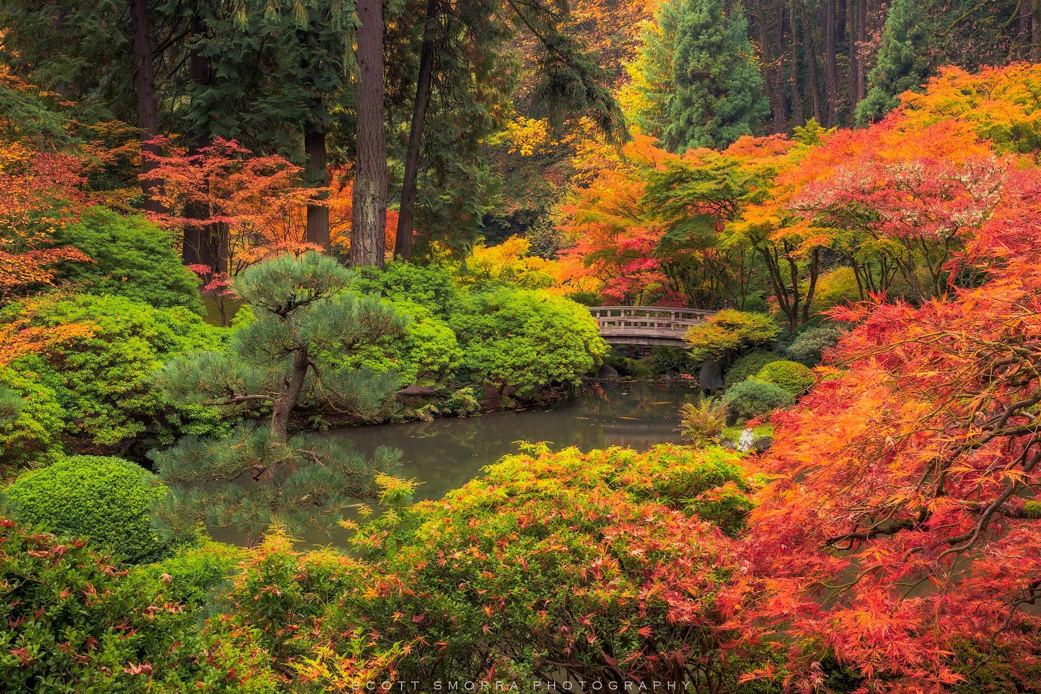 Fine Art Limited Edition of 100 - Peak fall colors surround the garden bridge on a quiet morning at the Portland Japanese Garden...
