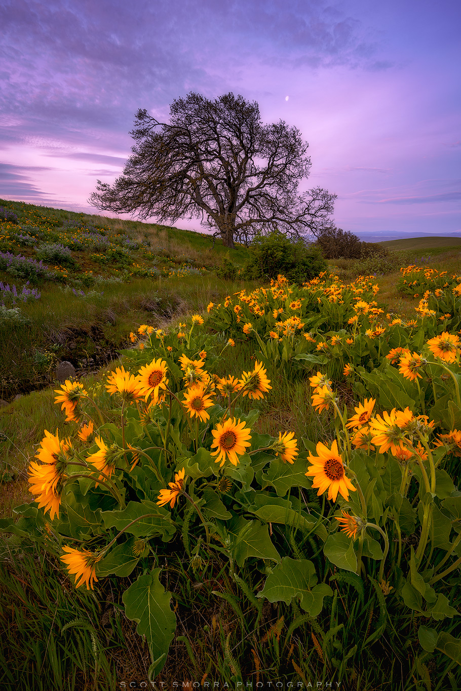 Fine Art Limited Edition of 100 - Sunrise light and spring wildflowers (Arrowleaf Balsamroot and Lupine) near and old oak tree...
