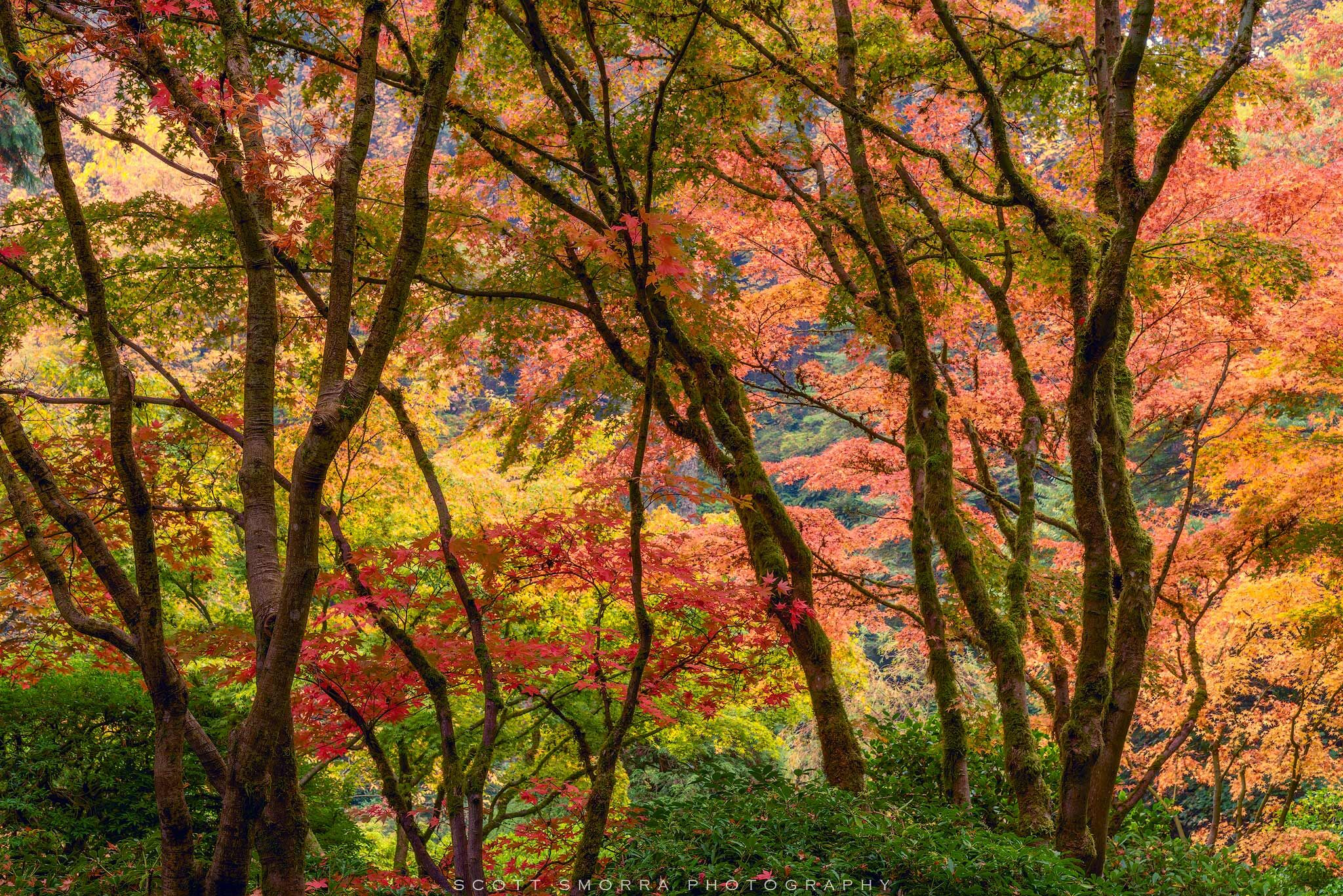 Fine Art Limited Edition of 100 - Beautiful Japanese Maples during the peak of fall color at the Portland Japanese Garden, Portland...