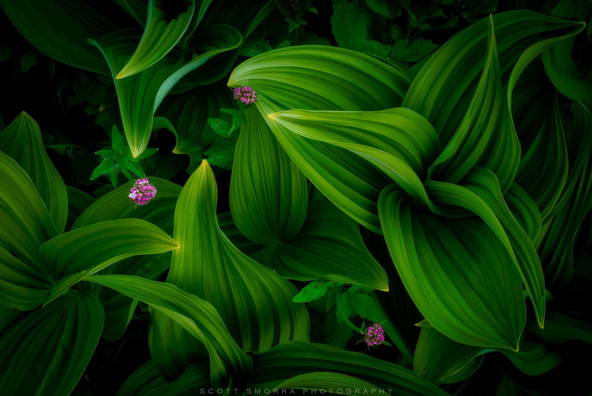 Fine Art Limited Edition of 100 - A summertime display of beautiful Veratrum and wildflowers in the Mt Jefferson Wilderness....